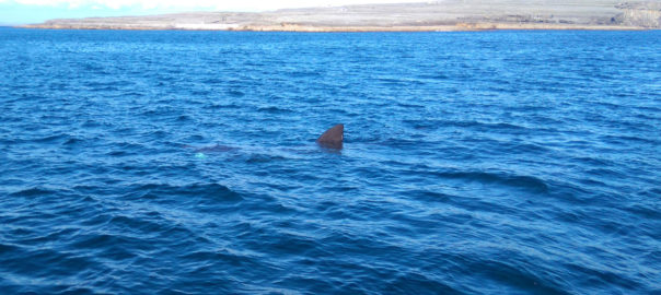 Dorsal fin of a basking shark breaching the water near Inishmore, Aran Islands