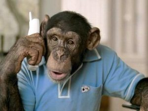 This chimpanzee is on the phone instead of working on the booking calendar. Bad monkey!